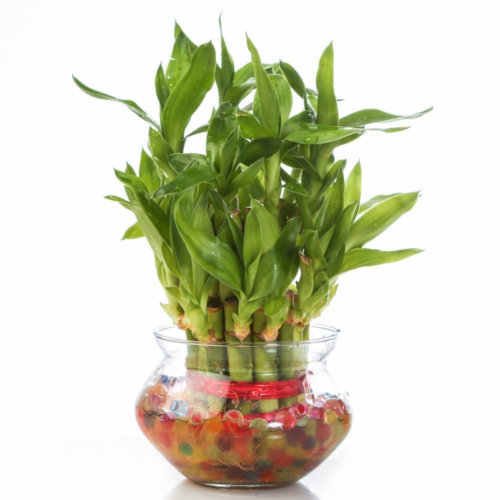 Send Good Fortune Plant To India