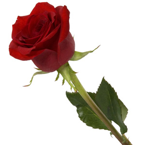 Send Single Rose India Online One Red Rose Gold Silver